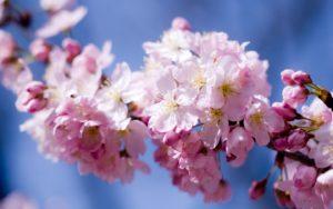 sakura-vishnya-cvetenie-cvety